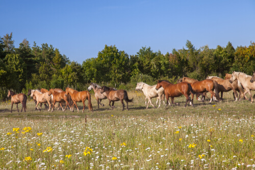 Horda de caballos de Estonia.