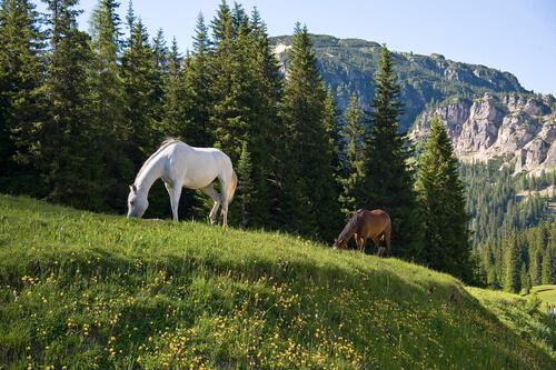 Caballos Franches-Montagnes pastando en los Alpes suizos.