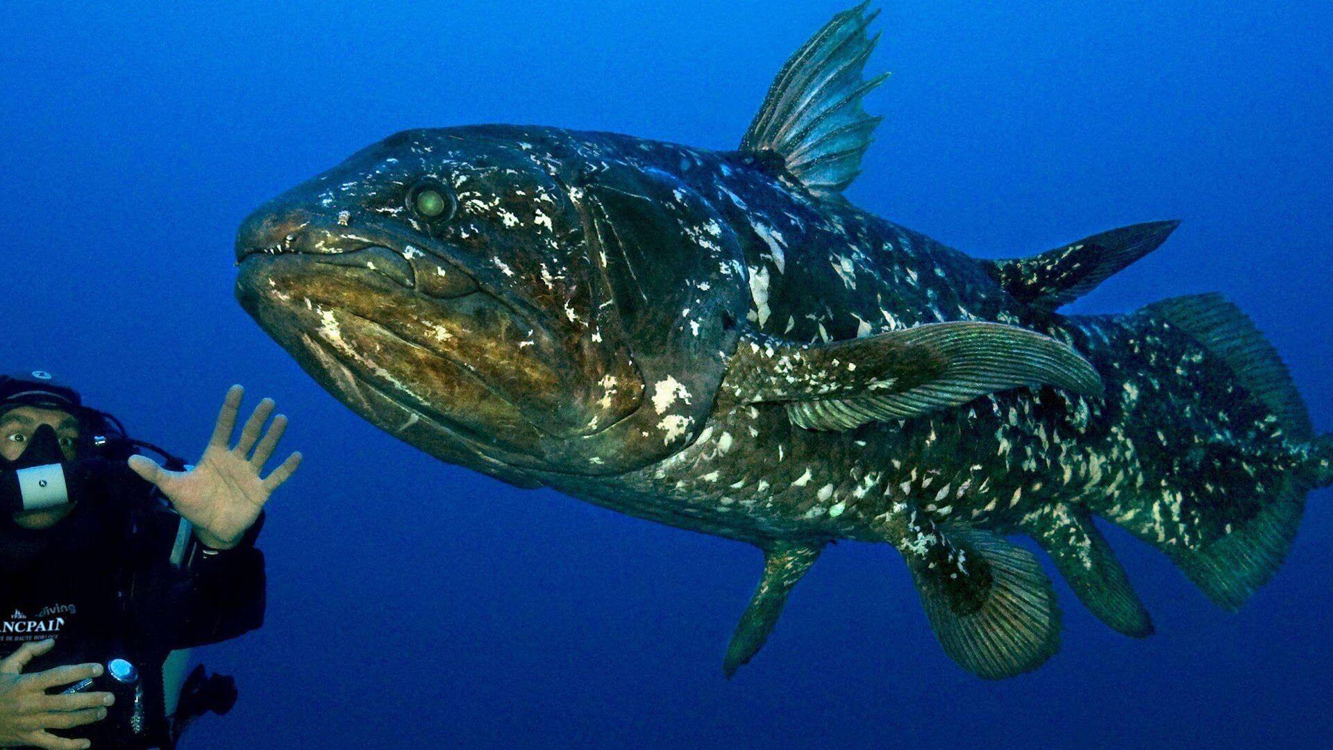 Ejemplar de celacanto nadando en el mar.