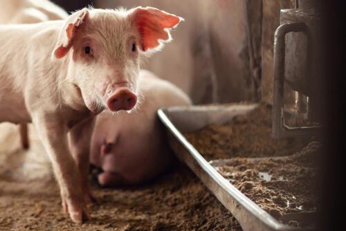 Crisis actuales en salud animal: el problema de la peste porcina africana