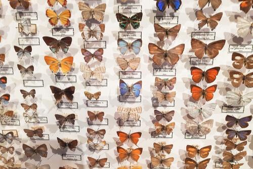 El museo entomológico CURLA: mariposas protagonistas