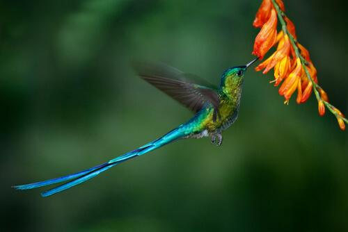 El colibrí coludo azul es un ave única.
