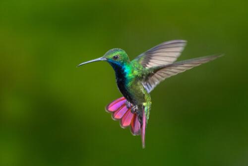 Colibríes de Colombia y Venezuela: belleza a todo color