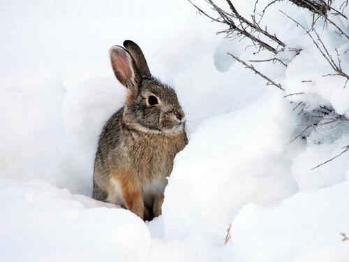 Conejo en la nieve