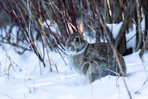 Cómo mantener los conejos calientes en invierno