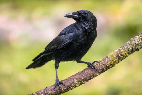 En Que Se Diferencian La Corneja Negra Y El Cuervo Mis Animales
