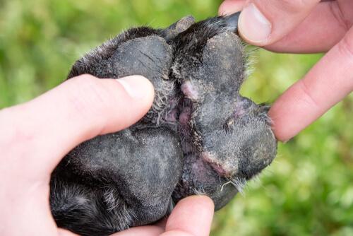 Dermatitis en las almohadillas del perro