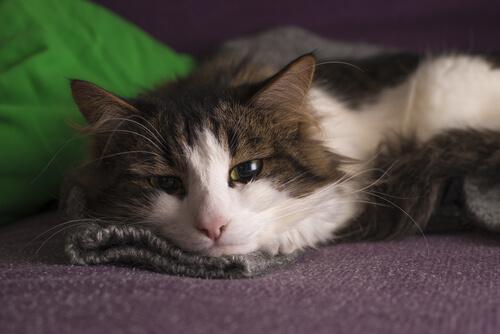 El lenguaje corporal del gato deprimido.