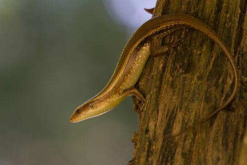 ¿Qué son los escíncidos, serpientes o lagartos?