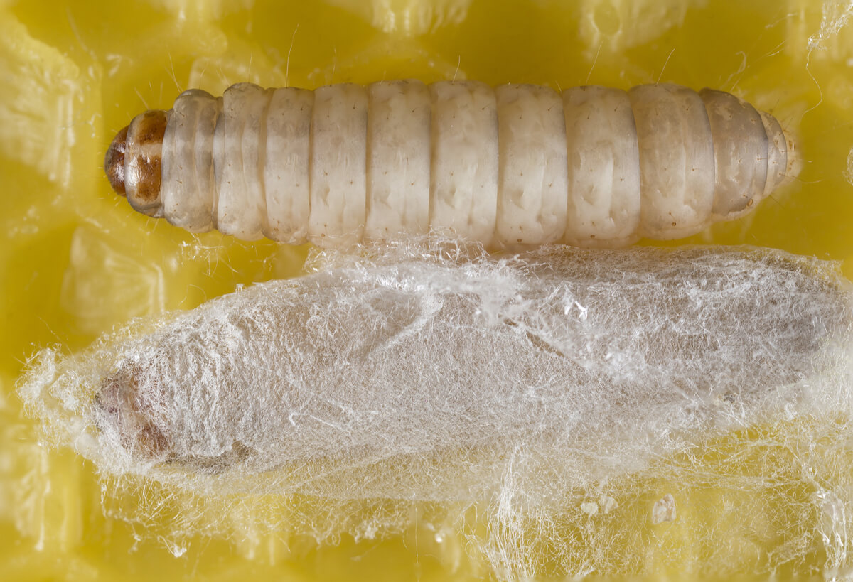 Larva y pupa de un gusano.