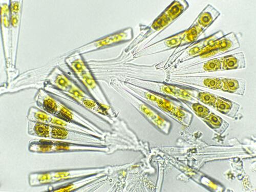 Licmophora sp. algae bajo el microscopio.