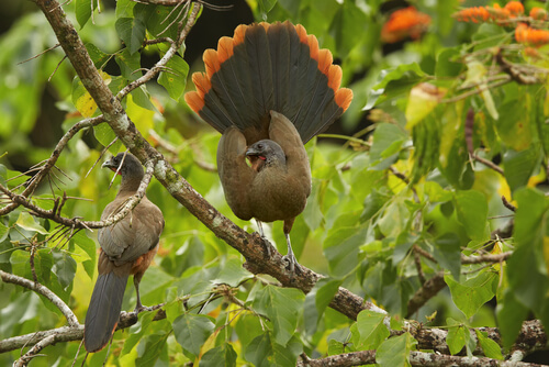 The red-headed guacharaca is a monogamous bird.