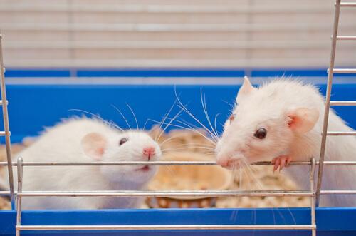 Pareja de ratas de laboratorio en su jaula.