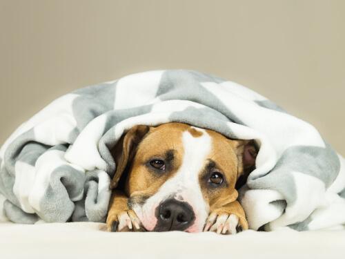 Perro enfermo debajo de una manta.