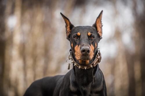 La legalidad de los perros de protección