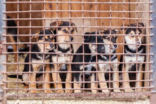 Cachorros de perro en jaulas.