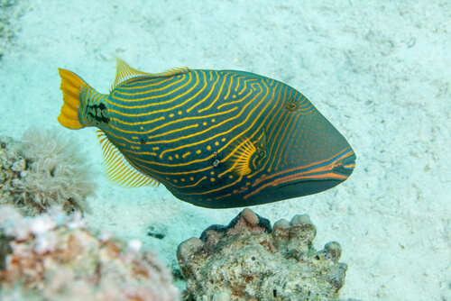 El pez gatillo nadando en un arrecife de coral.