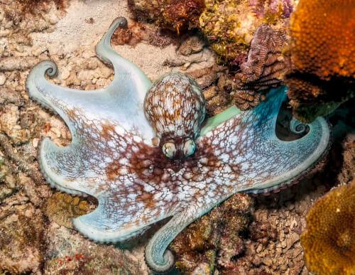 El pulpo del Caribe (Octopus briareus)