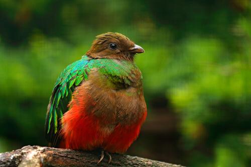 Ave quetzal Pharomachrus auriceps.