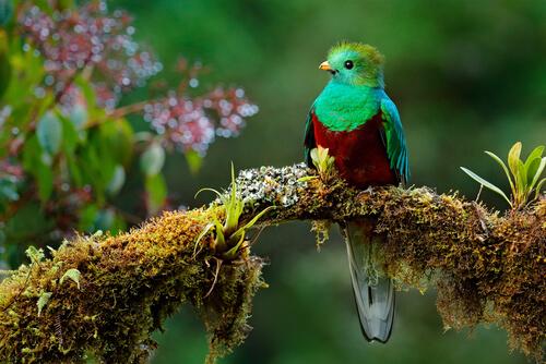 Ave quetzal Pharomachrus mocinno.