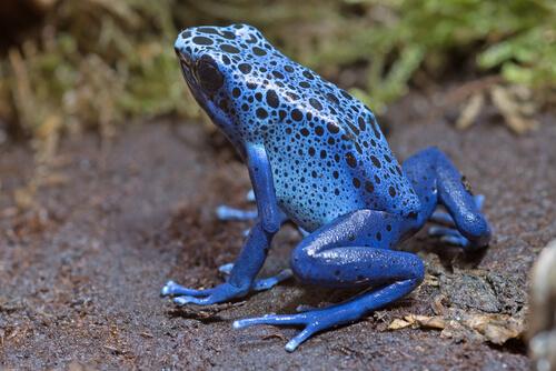 La rana flecha azul o Dendrobates azureus