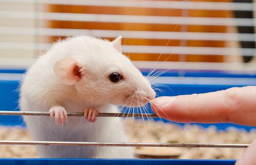 Actualizaciones en torno al cuidado de ratas de laboratorio