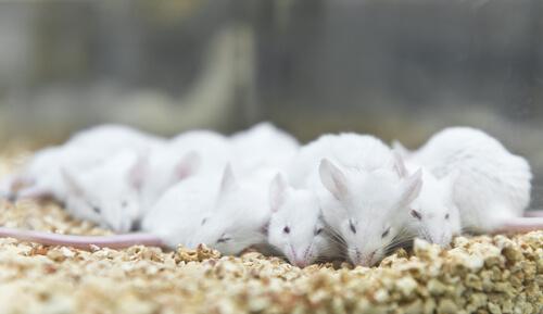 Ratas de laboratorio juntas en una jaula con pienso.