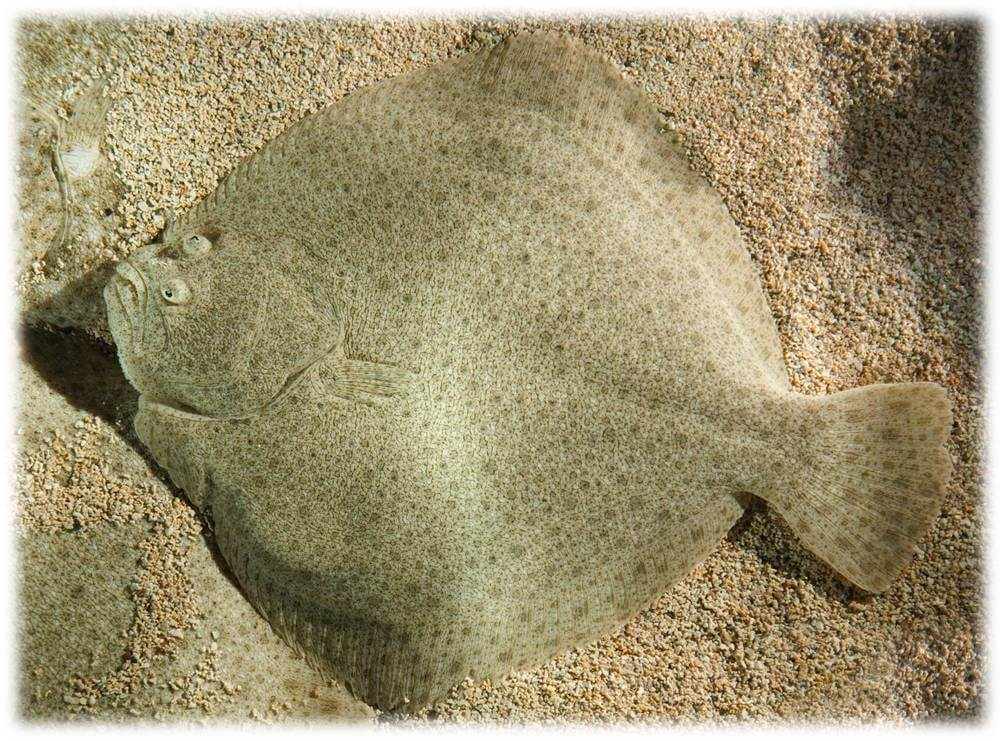 Example of turbot resting on its right side.