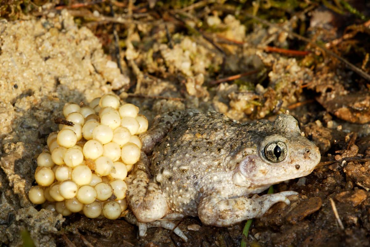 Un sapo partero común con huevos.