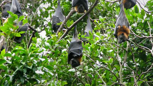 Los zorros voladores habitan en árboles.