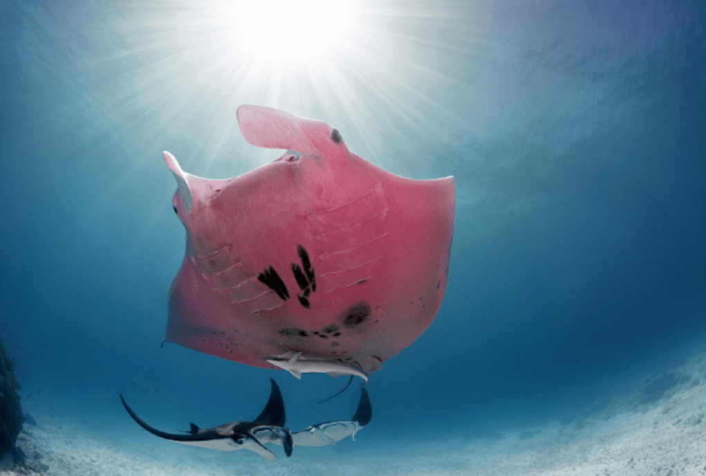 Mantarraya rosa en su hábitat natural.