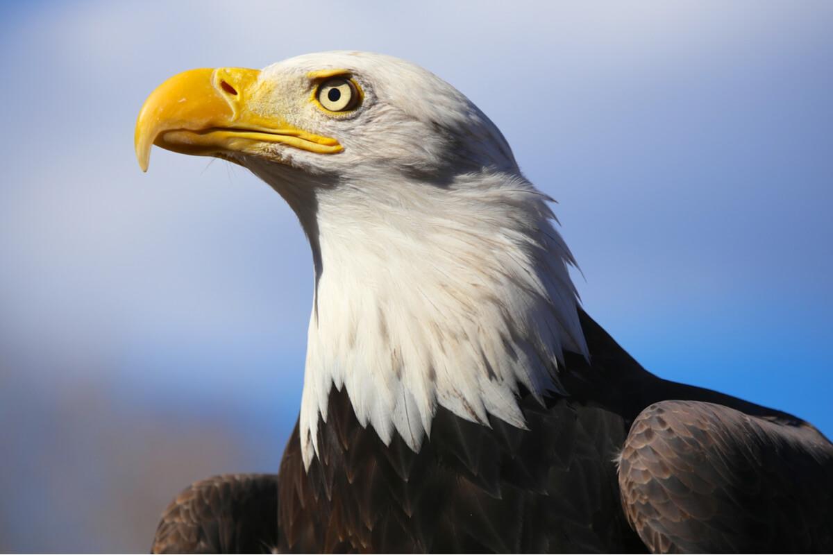 Perfil horizontal de un águila calva.