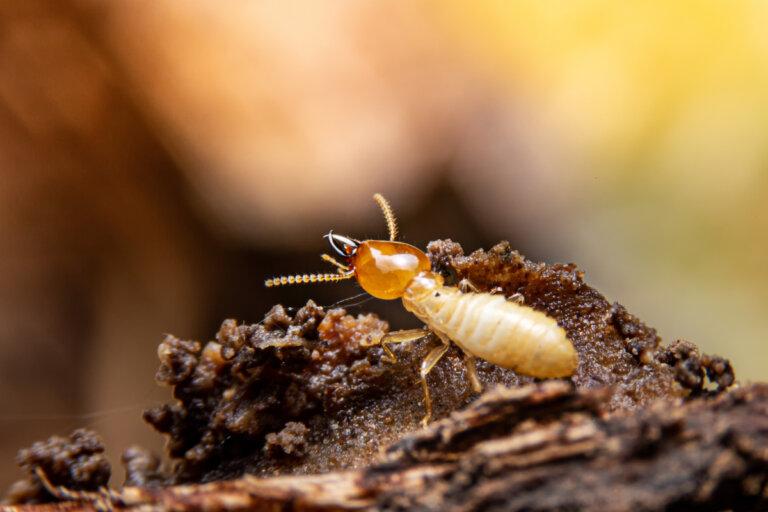 10 Insectos que comen madera