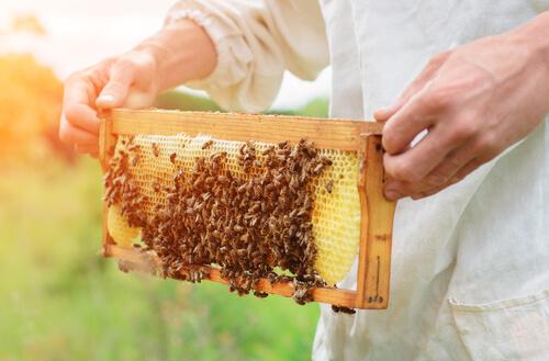 Apicultor sujetando un poco de miel con abejas.
