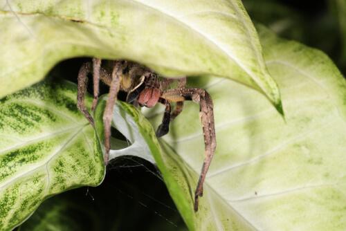 Espécimen de araña errante brasileña.