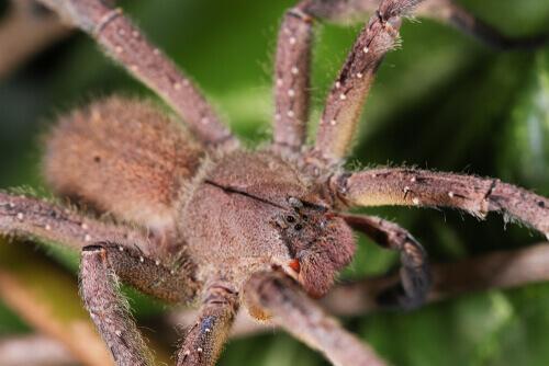 La araña errante brasileña: una de las más venenosas del mundo
