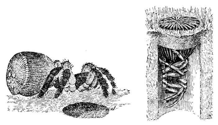 Ilustración de la araña tampón.