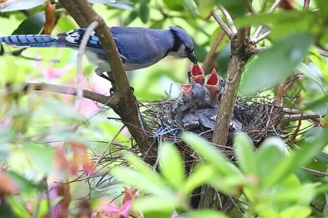 Un arrendajo azul alimentando a sus crías.