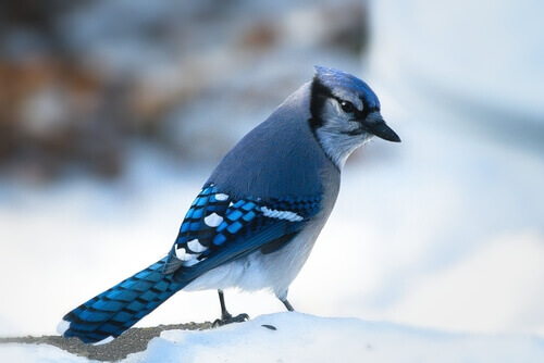 Arrendajo azul posado sobre la nieve.
