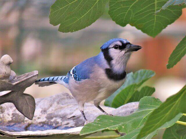 El arrendajo azul: ¿un pariente del cuervo?