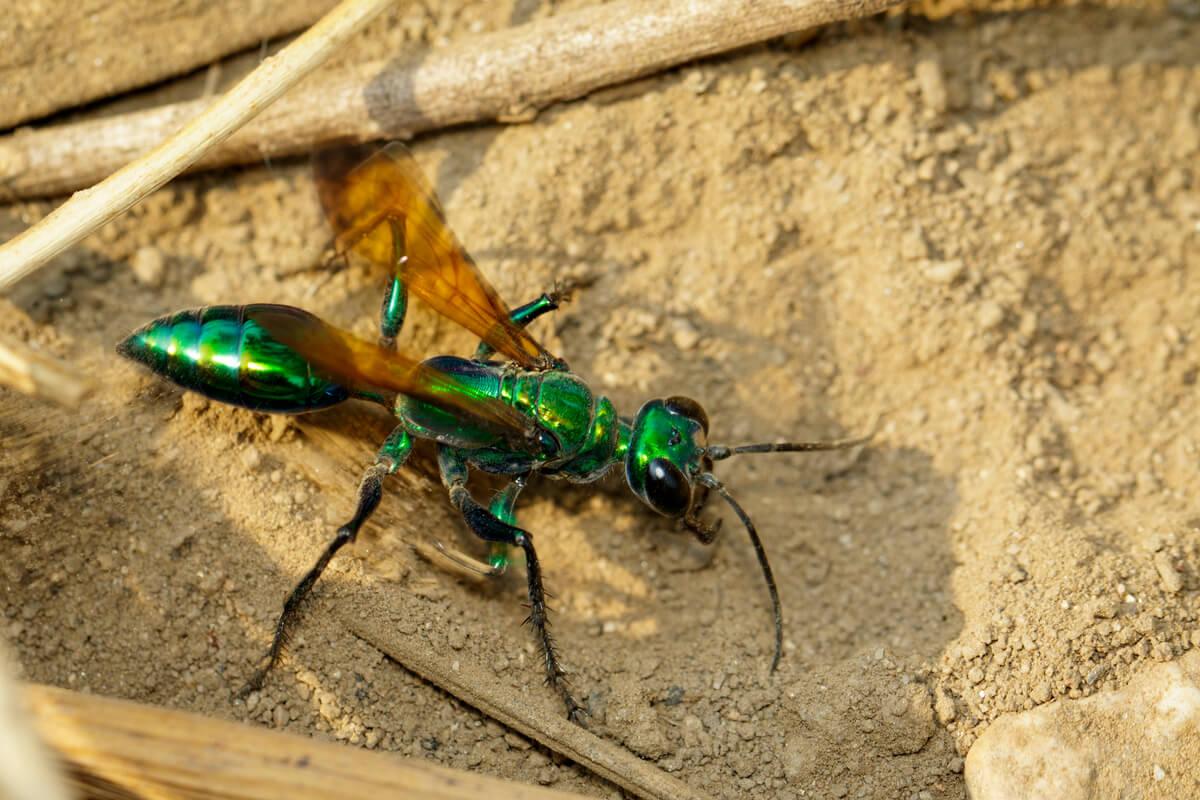 Una avispa esmeralda y sus antenas.