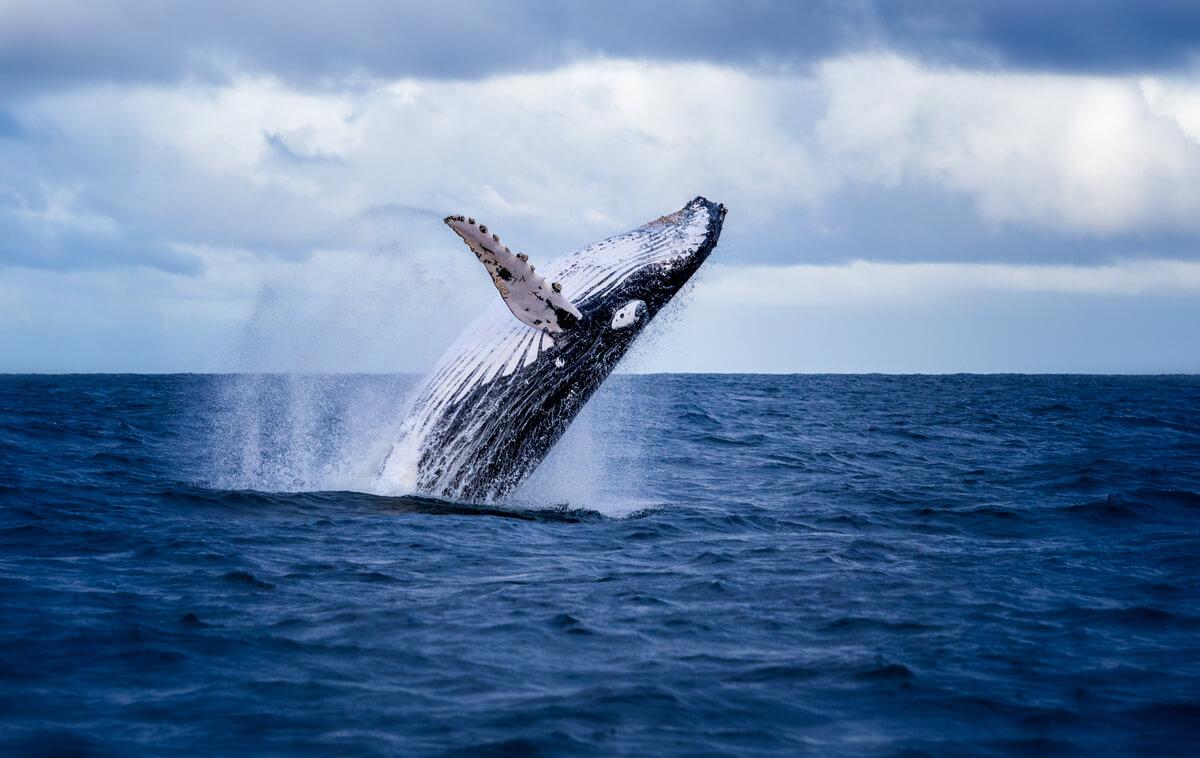 Una ballena saltando.