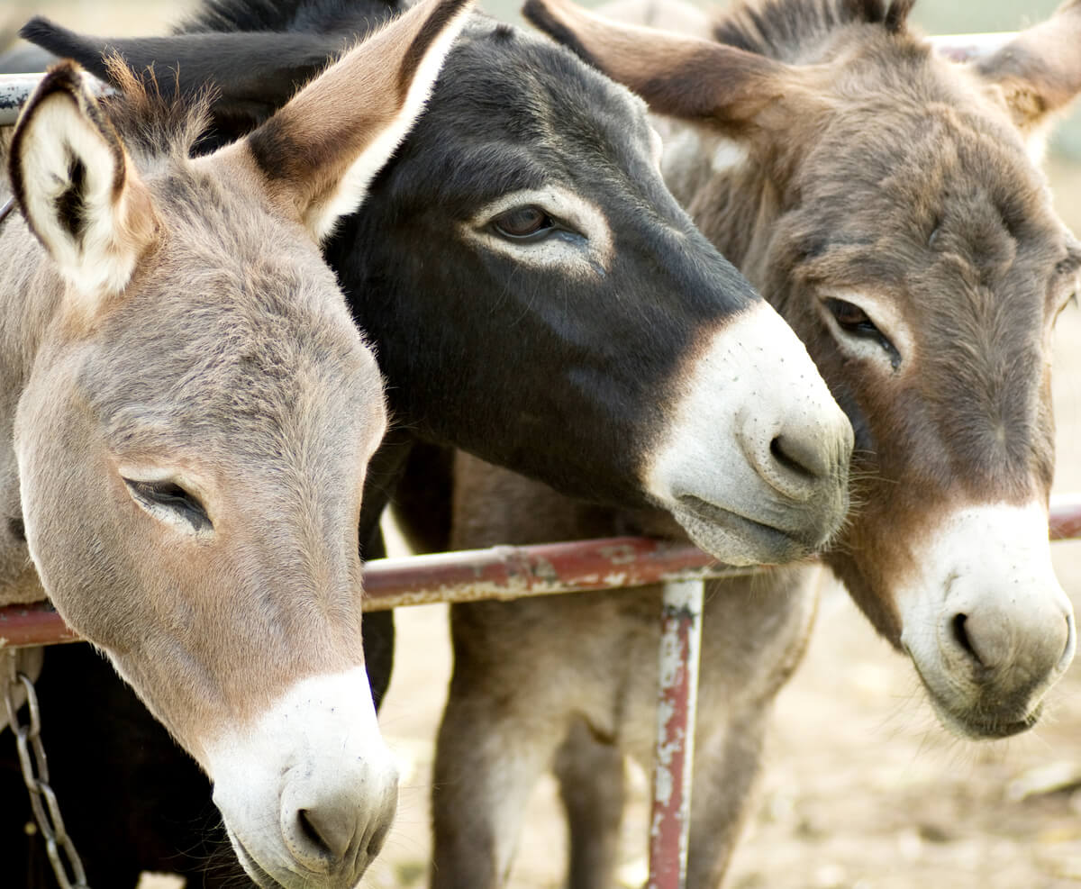 La mula, un animal híbrido común
