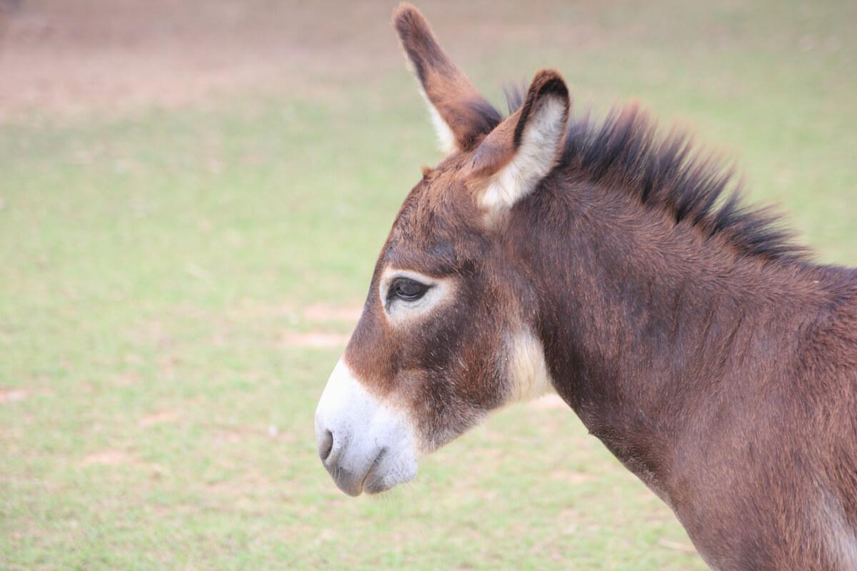 Una mula en una granja.