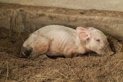 Cerdo con síndrome multisistémico de adelgazamiento posdestete.