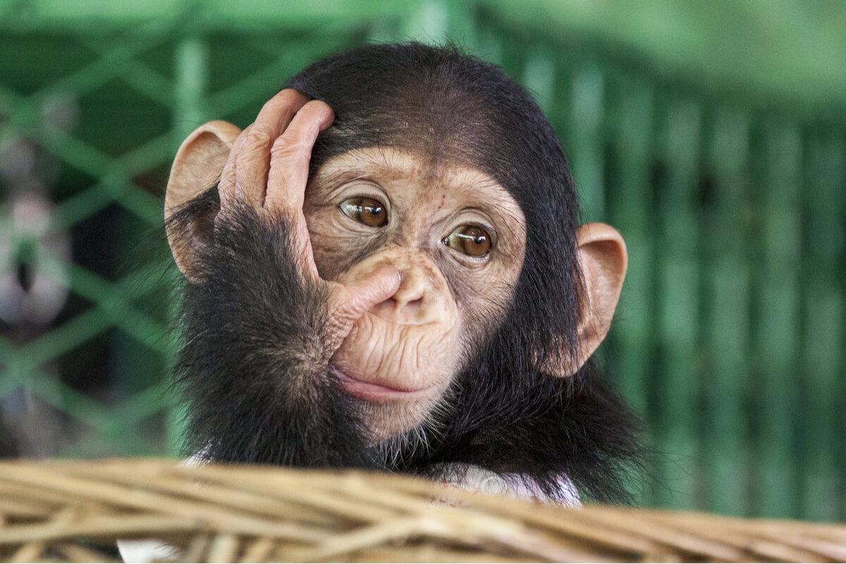 Los chimpancés usan piedras para hacer sonidos.
