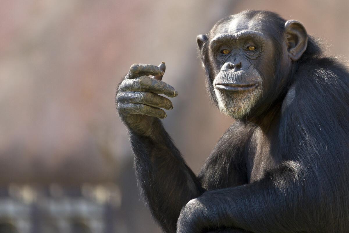 La cara de un chimpancé.