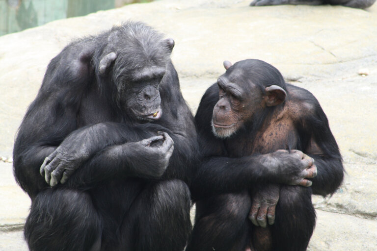 ¿Por qué los chimpancés usan rocas para hacer sonidos?