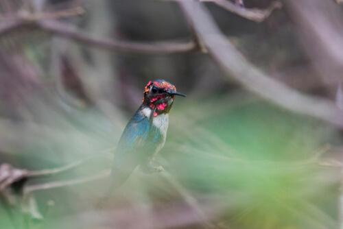 Mellisuga helenae: el colibrí más pequeño del mundo