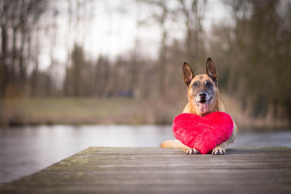 Prolapso de la válvula mitral en perros